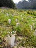 Australia: rodzimego krzaka odzyskiwania drzewny flancowanie Zdjęcie Stock