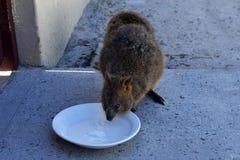 Australia, Rottnest Island, Quokka stock photo