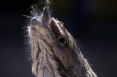 Australia's Tawny Frogmouth Bird Closeup Royalty Free Stock Photo