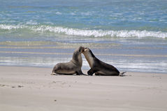 Australia, SA, Kangaroo Island. Australia, australian sea lion on seal bay, Kangaroo Island Stock Photography