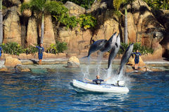Australia Sea World Dolphin Performer. In Queensland, Australia Royalty Free Stock Image