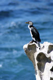 Australia Shag on a rock Royalty Free Stock Images