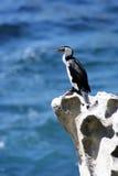 Australia Shag on a rock. Shag on a rock near Bondi Beach, Sydney, Australia Royalty Free Stock Images