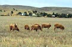 Free Australia, South Australia, Sheeps On Pasture Stock Photos - 111134303