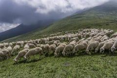 australia stada owiec pierwiosnkowi miejscu pustyni Tasmania Fotografia Royalty Free