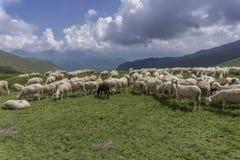 australia stada owiec pierwiosnkowi miejscu pustyni Tasmania Obraz Stock
