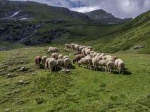 australia stada owiec pierwiosnkowi miejscu pustyni Tasmania Obraz Royalty Free