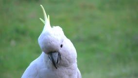 Australia sulphur crested cockatoo posing stock video