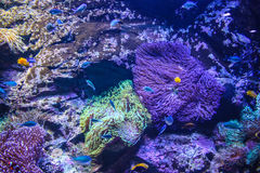 Australia Sydney museum aquatic animals Aquarium. Australia museum aquatic animals Aquarium coral purple under the Sea Stock Photos