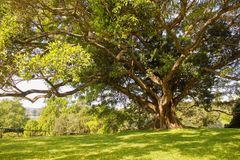 Australia Sydney Royal Botanic Gardens. Tree Royalty Free Stock Image