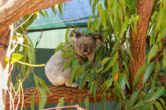 Australia Sydney Wildlife World Koala. Forest Stock Image