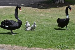 Australia, Victoria, Melbourne, Swan family. Australia, black swan with cygnets in Albert Park in Melbourne royalty free stock image