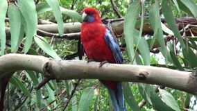 Australia, walk in the rainforest. Meeting with a red parrot parakeet stock footage