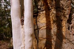 Australia: white eucalypt tree orange rock Royalty Free Stock Photos
