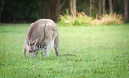 An Australia wild baby kangaroo in a mother front bag, close up. An Australia wild baby kangaroo in a mother couch`s front bag, close up royalty free stock photo