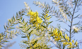 Australia yellow wattle flowers Acacia fimbriata Brisbane Golden Royalty Free Stock Images