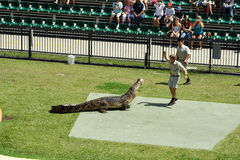 Australia Zoo Crocodile Performer Stock Photo