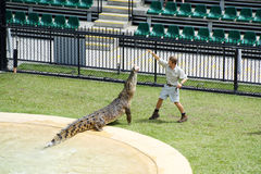 Australia Zoo Crocodile Performer Stock Photography