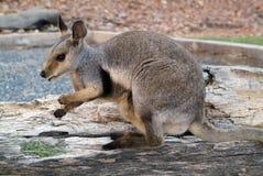 Australia, zoologia obrazy royalty free