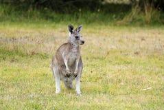 Australia, zoologia, kangur fotografia royalty free