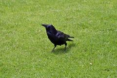 Australia, zoologia, ptak fotografia stock