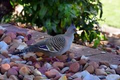 Australia, zoologia, ptak zdjęcie royalty free