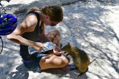 Australia, zoologia, Quokka karmienie obraz royalty free