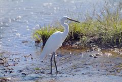Australia, Zoology. Australia, Great Egret at Fogg Dam in Northern Territory Stock Photo