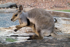 Australia, Zoology. Australia, black-footed Rock-Wallaby Royalty Free Stock Images