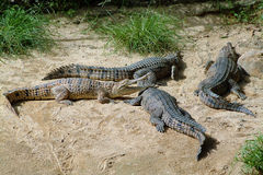 Australia, Zoology, Royalty Free Stock Image
