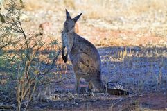Australia, Zoology. Australia, grey kangaroo in the shadow eating from a bush Royalty Free Stock Photo