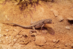 Australia, Zoology. Australia, Lake Eyre Dragon in outback stock images