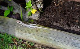 Australia, Zoology, Reptile. Australia, Long-snouted Lashtail aka Long-nosed Water Dragon Royalty Free Stock Photography