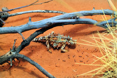 Australia, Zoology. Zoology, thorny devil and ants Stock Photography