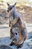 Australia_Zoology_Wallaby 库存图片