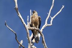 Australia, Zoology Royalty Free Stock Photography