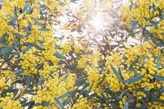 Australian acacia Royalty Free Stock Image