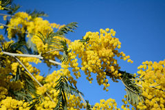 Australian acacia flower, also known as mimosa Royalty Free Stock Image