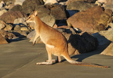 Australian agile wallaby,cape hillsborough,mackay Stock Image