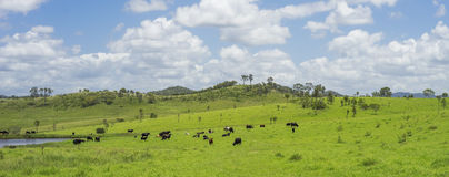 Australian Agriculture Beef Cattle Farming Royalty Free Stock Images