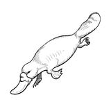 Australian animal Platypus in doodle style. Vector illustration. Vector illustration of handdrawn Australian animal Platypus in doodle style Royalty Free Stock Photography