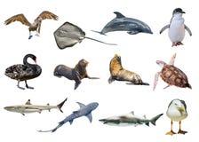 Australian animals collage. Collage of Australian animals, isolated on white background. Pelican, Seagull, Penguin, Black Swan, Lemon shark, Sting Ray, Great stock photography