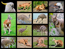 Australian animals. Fourteen mosaic photos of Australian animals royalty free stock photo