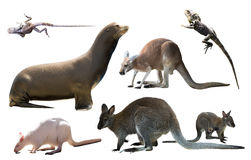 Australian animals isolated. Collection of different wild Australian birds, mammals and reptiles isolated on white background stock photo