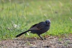 Australian Apostle Bird Royalty Free Stock Images
