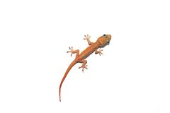 Australian Asian House Gecko. Isolated On White (Hemidactylus Frenatus Stock Photography