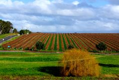 Australian Autumn Vineyard Royalty Free Stock Images