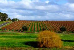 Australian Autumn Vineyard Royalty Free Stock Images