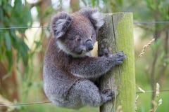 Australian Baby Koala Bear stock photos