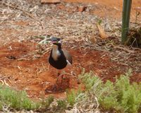 Australian Banded lapwing on the red earth Stock Photos